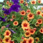 PLANTS: Summer Colour & Succulent Veg Plants