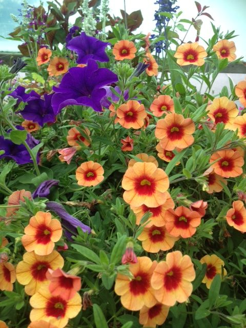 PLANTS: Summer Colour & Succulent Veg Plants