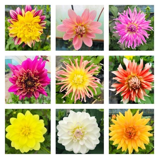 National Dahlia Collection Comes to Kehelland Trust